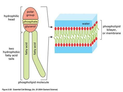 diagram of phospholipid image gallery labeled phospholipid