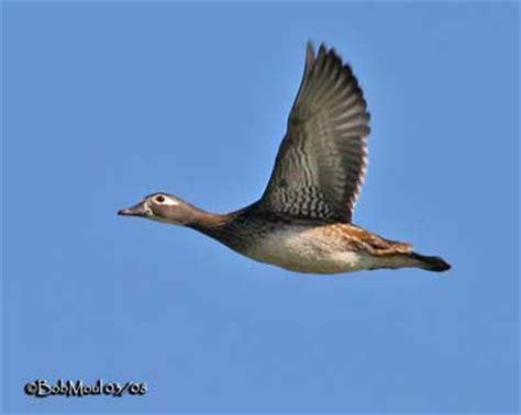 comment cuisiner un canard sauvage wood duck flying pixshark com images