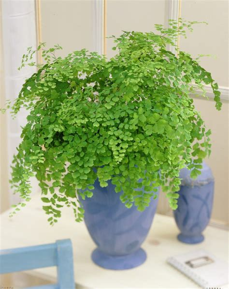 23 low light houseplants that are easy to maintain and 99roots com plants flowers delta maidenhair fern