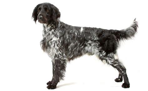 large munsterlander puppies large munsterlander breed information