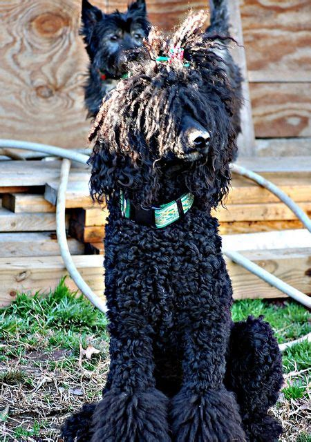 how to get a ponytail on a poodle 23 best images about poodle grooming on pinterest