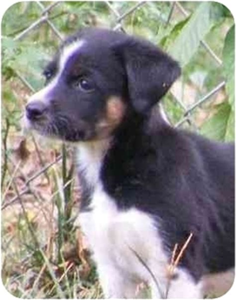 border collie rottweiler mix puppies rottweiler puppies for adoption imagejpg breeds picture