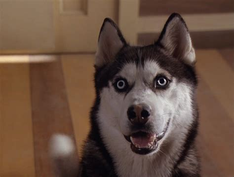 from snow dogs from snow dogs siberian huskies photo 32171021 fanpop