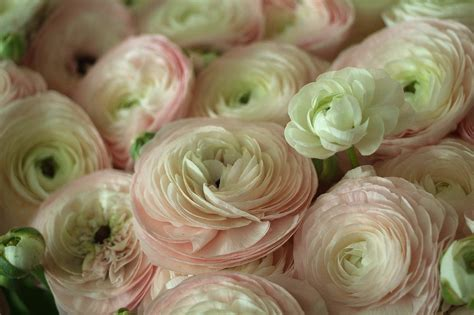 Yellow Paint by Ranunculus Bed Pink Ranunculus