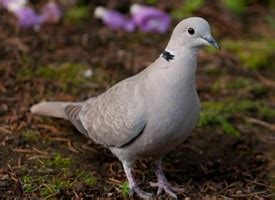 wat doesa brid dove look like eurasian collared dove identification all about birds cornell lab of ornithology