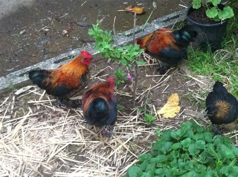 types of backyard chickens what type of chicken breeds are my chickens