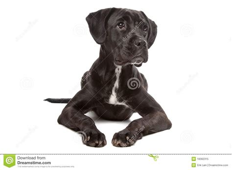 black lab boxer mix puppy labrador boxer mix stock image image of mammal floppy 18382315