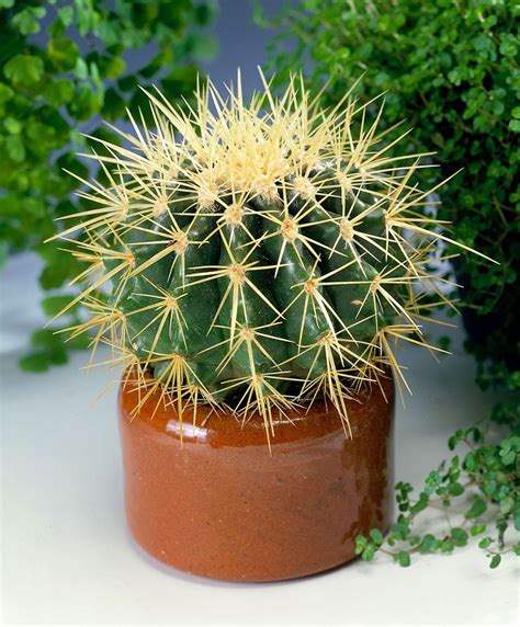 cuscino di suocera cuscino della suocera echinocactus pianta per la casa