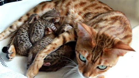 bengal cat talking screaming baby kisangani bengal kittens