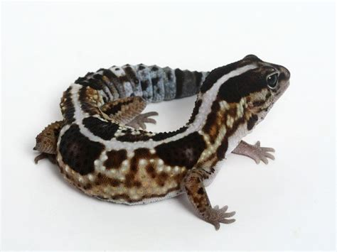 A682 White 1000 images about tailed gecko on