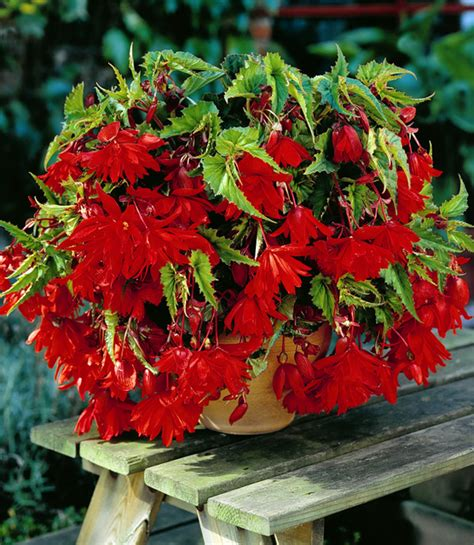 Home Decoration Products Online achat begonia pendula rouge en ligne pas cher 3 99