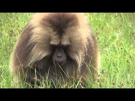 gelada baboons youtube
