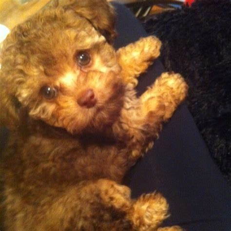 chihuahua poodle puppies chihuahua poodle puppy malaysia friends