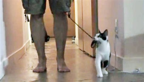 how to to walk on leash properly how to walk your human cat teaches proper leash walking productions