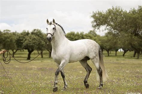 spanish gray animals landscape nature horse pre spain equine horses