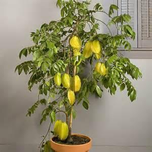 Fragrant Garden Plants - star fruit dwarf hawaiian averrhoa carambola