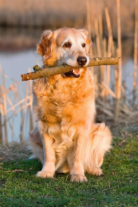 how to a to fetch birds 17 best images about golden retriever on the golden trains and awesome dogs