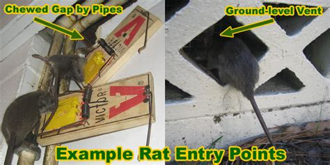 how to get rid of mice in basement rat entry holes into house common rat entry points