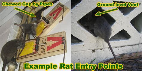 Rat Entry Holes Into House   Common Rat Entry Points