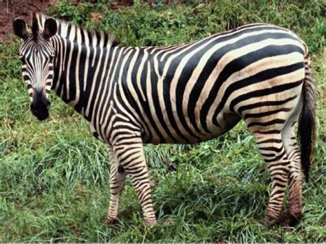 black zebra zebra black wallpapers animals animaljpg ru