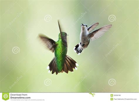 hummingbirds mating dance royalty free stock image image