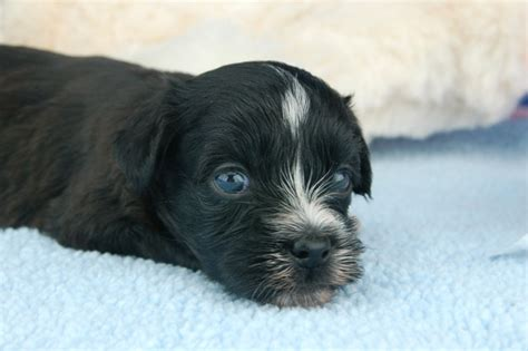 havanese puppies for sale in miami royal flush havanese black and white havanese puppy breeds picture