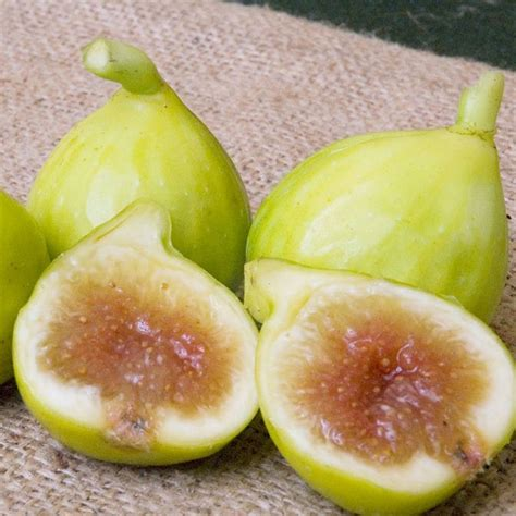 Fig tree, zone 5   kadota   garden   Pinterest   Fig tree