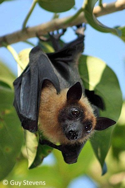 a fruit bat fruit bat the maldives bat