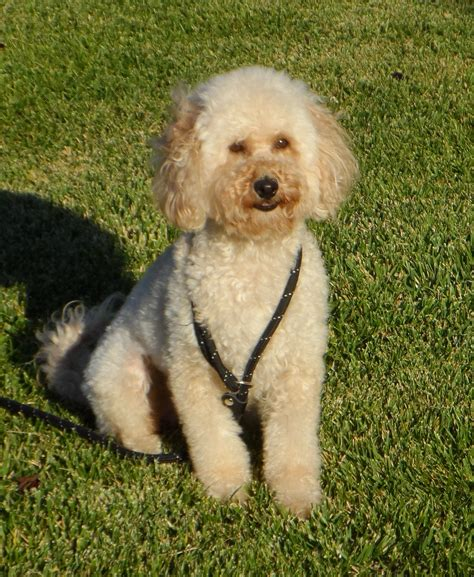 mini goldendoodles ri goldendoodle goldendoodle picture slideshow breeds