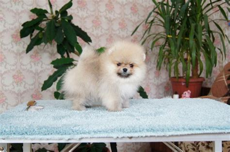 teacup pomeranian boo for sale boo puppy for sale pomeranian puppy for sale kc reg genuine tiny