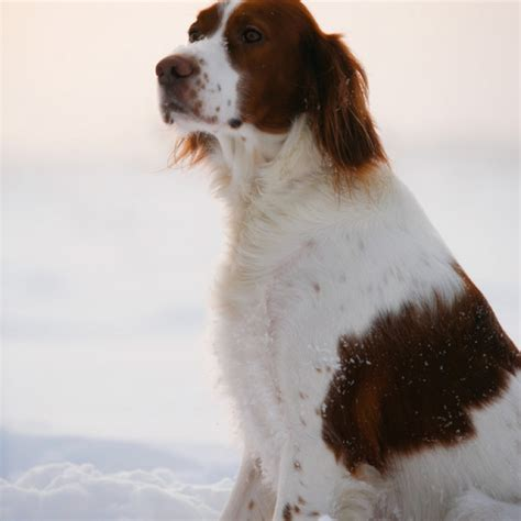 irish red and white setter dogs for sale irish red and white setter puppy irish red and white