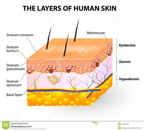 skin layers healthy normal human skin royalty free vector layers of human skin melanocyte and melanin stock vector illustration of away cell 37423406