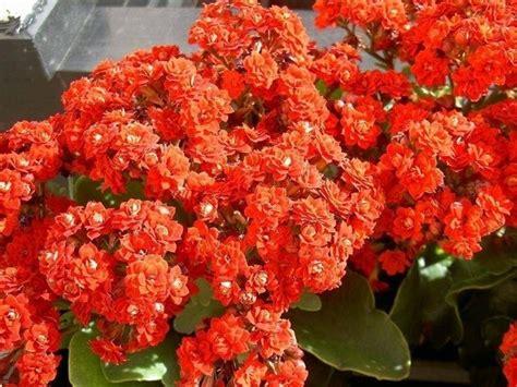 pianta da appartamento con fiori kalanchoe piante da interno la pianta di kalanchoe