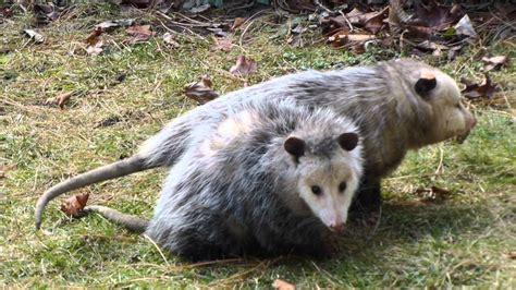 possum love youtube