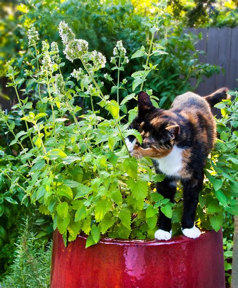 is catnip safe for dogs catnip bonnie plants