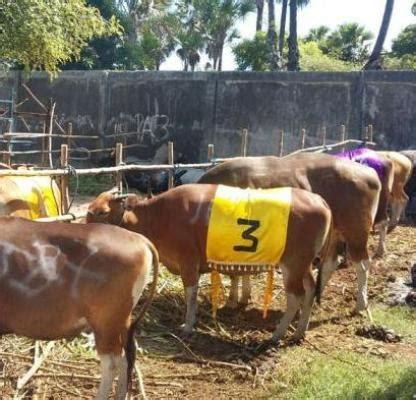 Bibit Sapi Betina jelang kontes sapi tingkat provinsi puluhan sapi ikut
