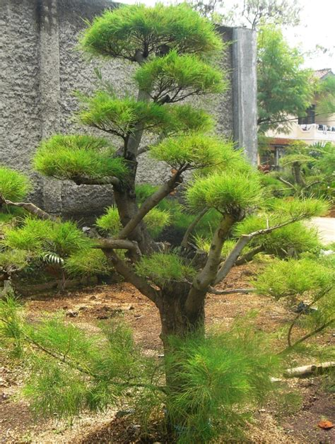 Bibit Bonsai Cemara Udang jenis tanaman hias roempoen bamboe landscape