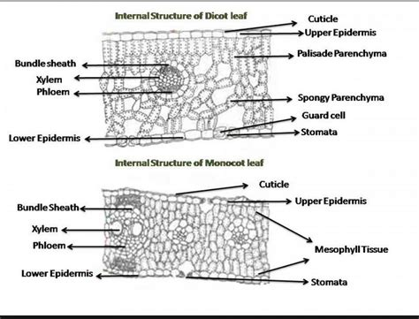 cross section dicot leaf plant microscope exercise biology4friends