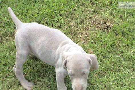 weimaraner puppies for free meet bonnie a weimaraner puppy for sale for 600 akc weimaraner puppies