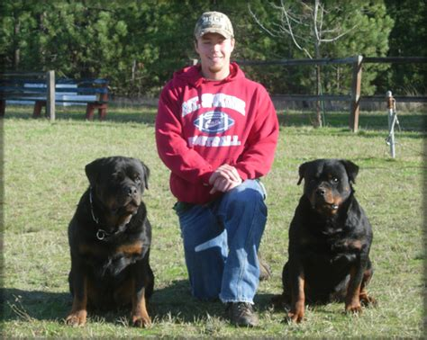 american rottweiler pictures american rottweiler breeders in ny