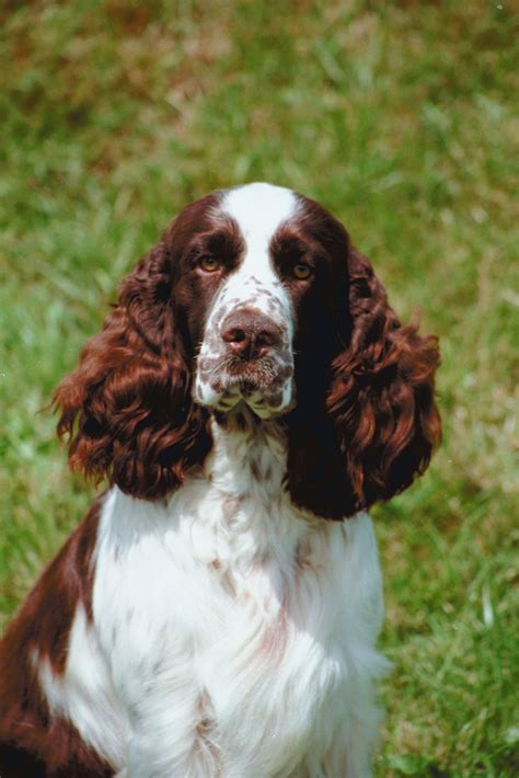 english springer spaniel bench the springer shack english springer spaniels
