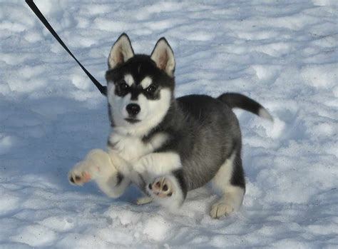 how to a husky puppy husky puppies fuzzy today