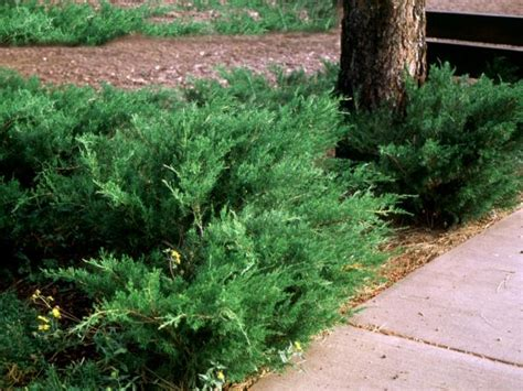 Landscape Bushes Pictures Popular Landscaping Groundcovers And Shrubs Diy