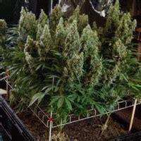 grow marijuana seeds   screen  green scrog