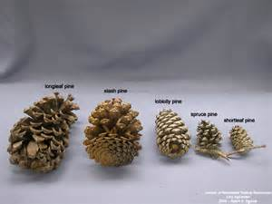 Identifying Pine Cones Images & Pictures   Becuo