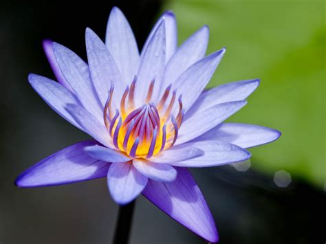lily flower wallpapers water lily flowers wallpapers