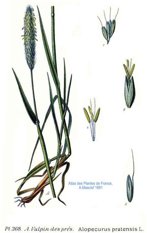 l jpg file 368 alopecurus pratensis l jpg wikimedia commons