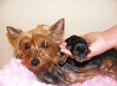 yorkie puppies for sale in louisville ky 2 yorkie puppies akc in louisville kentucky for sale breeds picture