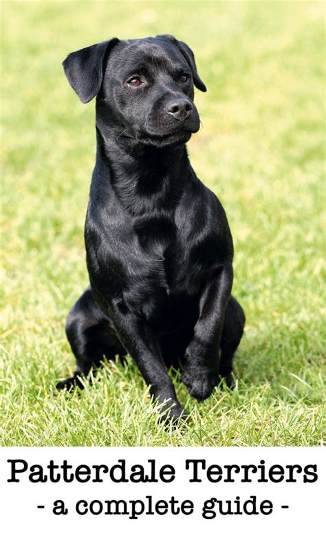 a complete guide to the patterdale terrier breed