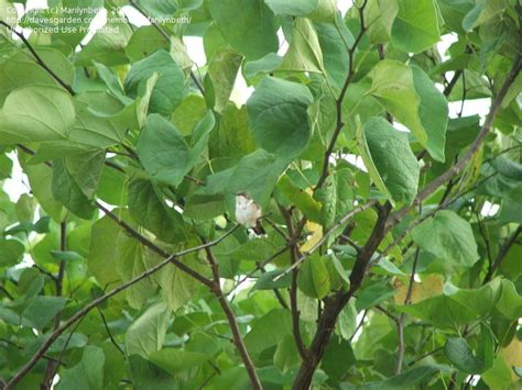 plantfiles pictures eastern redbud canadian redbud judas tree cercis canadensis by marilynbeth
